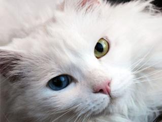 Mačak Pulci